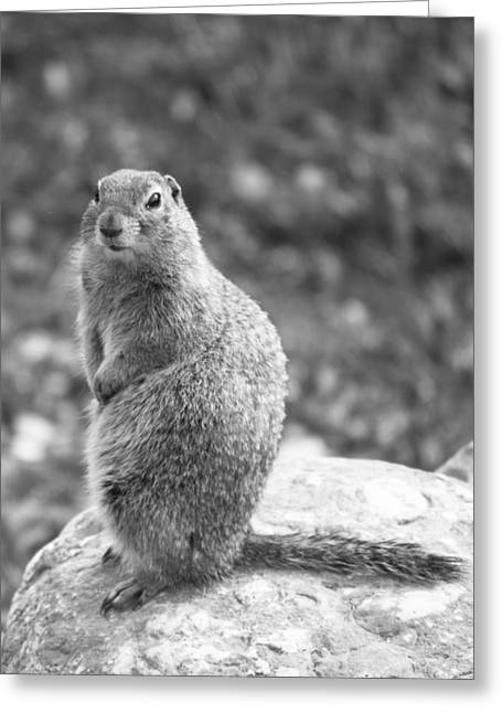 Arctic Ground Squirrel Greeting Card