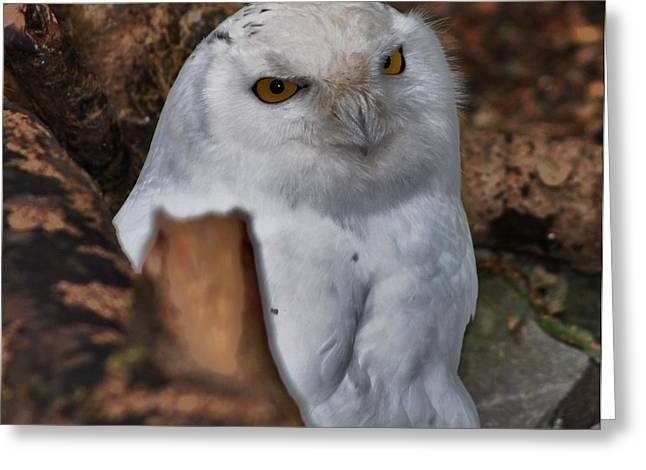 Arctic Snow Owl Greeting Card