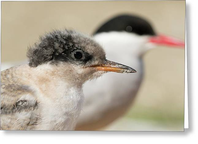 Arctic Tern Chick With Parent - Scotland Greeting Card