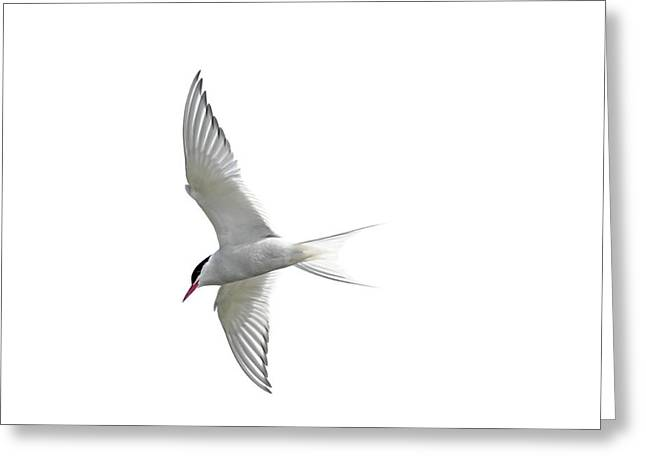 Arctic Tern Flying In Mist Greeting Card