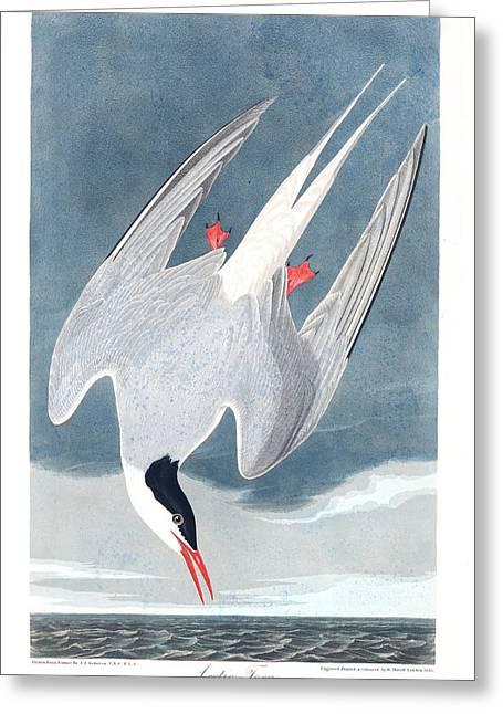 Arctic Tern Greeting Card by MotionAge Designs
