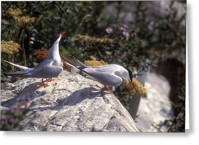Machias Seal Island Greeting Cards - Arctic Tern Pair near Nest Greeting Card by John Burk