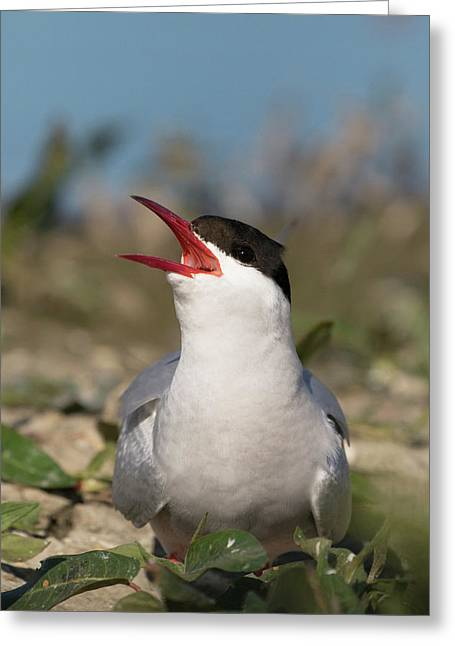 Arctic Tern - St John's Pool, Scotland Greeting Card