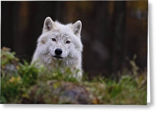Arctic Wolf In Autumn Greeting Card by Michael Cummings