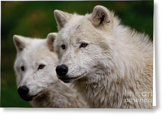 Arctic Wolf Pair Greeting Card by Michael Cummings