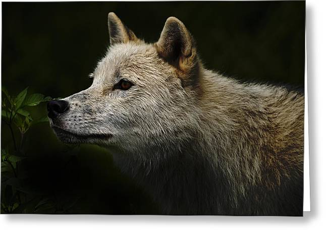Greeting Card featuring the photograph Arctic Wolf Portrait by Michael Cummings