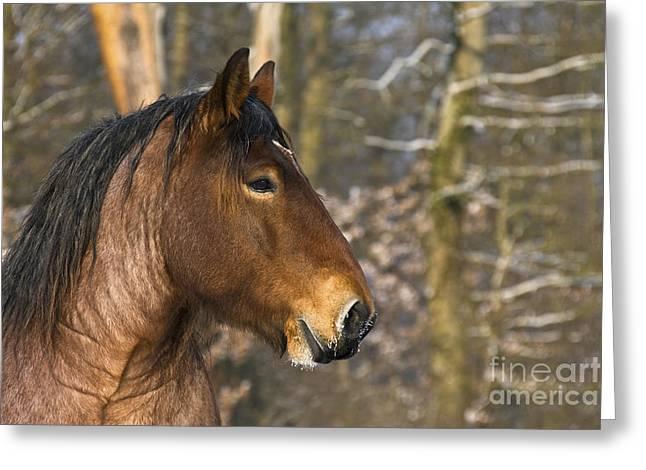 Ardennais Draft Horse Greeting Card by Jean-Louis Klein & Marie-Luce Hubert