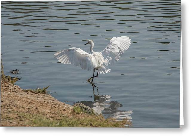 Are You Ready To Dance - Great Egret In Mtn View Ca Greeting Card