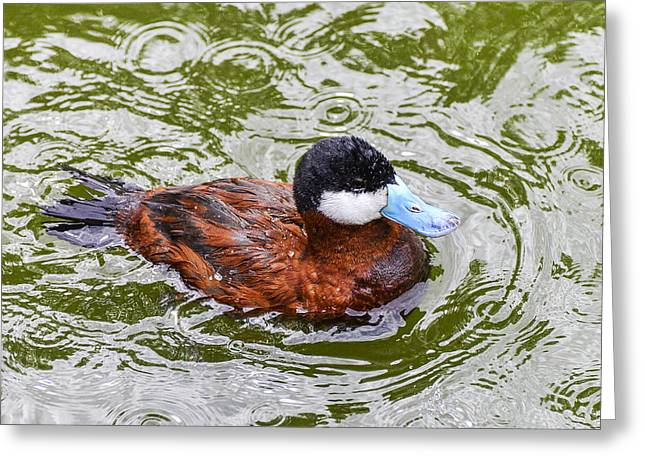 Argentine Ruddy Duck Greeting Card