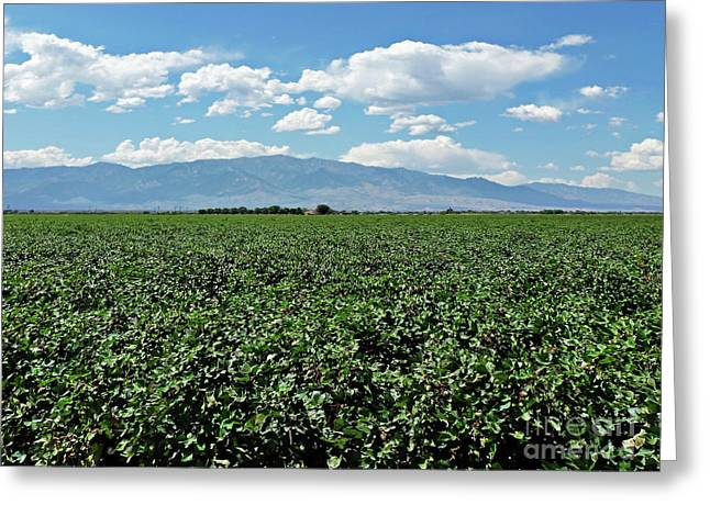 Arizona Cotton Field Greeting Card by Methune Hively