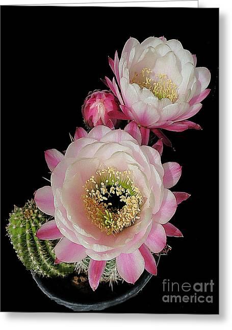Arizona Desert Cactus Flowers Greeting Card
