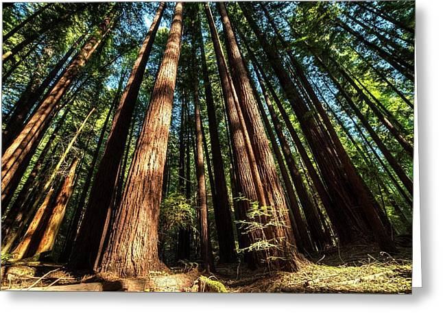 Armstrong National Park Redwoods Filtered Sun Greeting Card