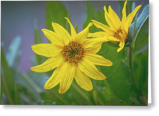 Greeting Card featuring the photograph Arrowleaf Balsamroot by Jason Coward