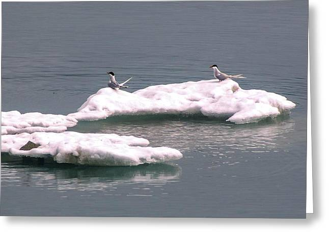Arctic Terns On A Bergy Bit Greeting Card