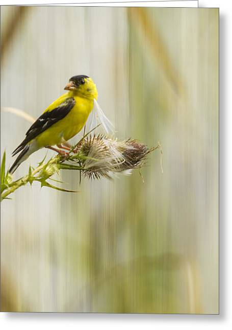 Artistic American Goldfinch 2013-1 Greeting Card