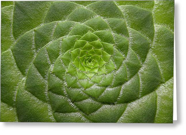 Artistic Nature Green Aeonium Cactus Macro Photo 203 Greeting Card