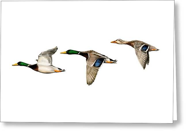 Flying Mallards Greeting Card by Sarah Batalka