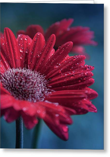 Greeting Card featuring the photograph Gerbera Red Jewel by Sharon Mau
