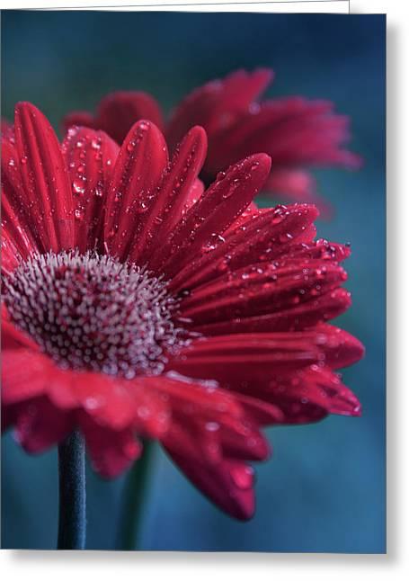 Gerbera Red Jewel Greeting Card by Sharon Mau