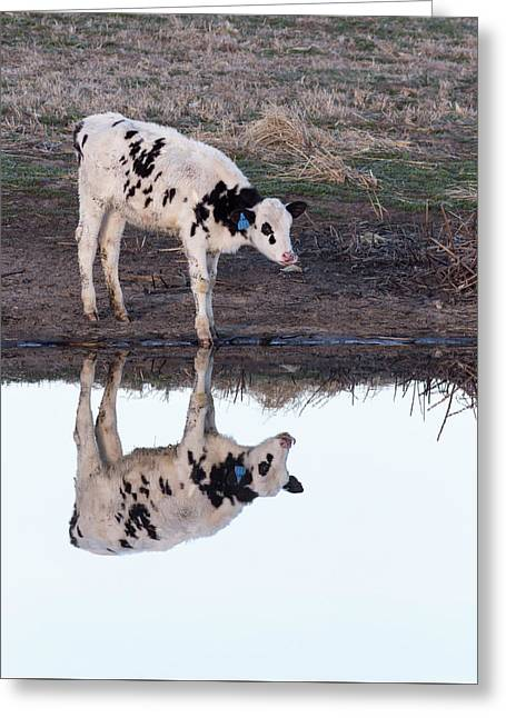 Twin Spotted Calves Greeting Card