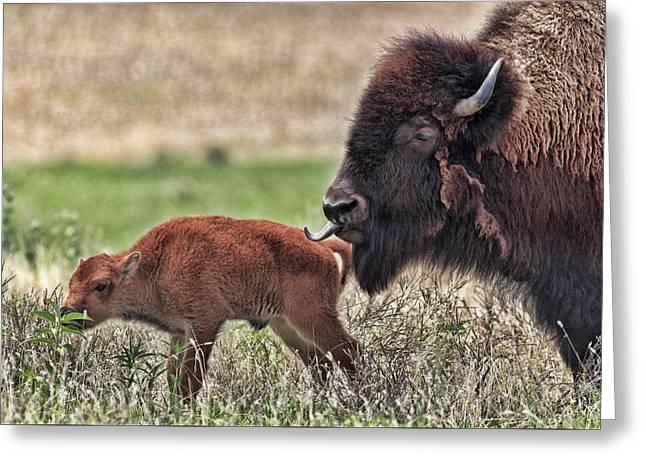 Buffalo And Calf Greeting Card