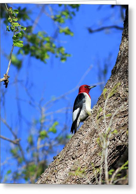Red-headed Woodpecker Greeting Card