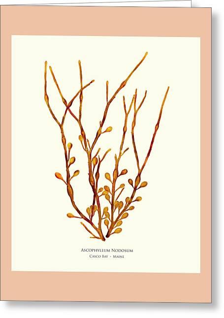 Ascophyllum Nodosum, Casco Bay, Maine Greeting Card