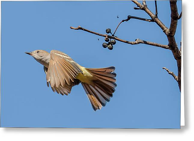 Ash-throated Flycatcher Flight Greeting Card