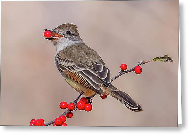 Ash-throated Flycatcher With A Red Berry Greeting Card