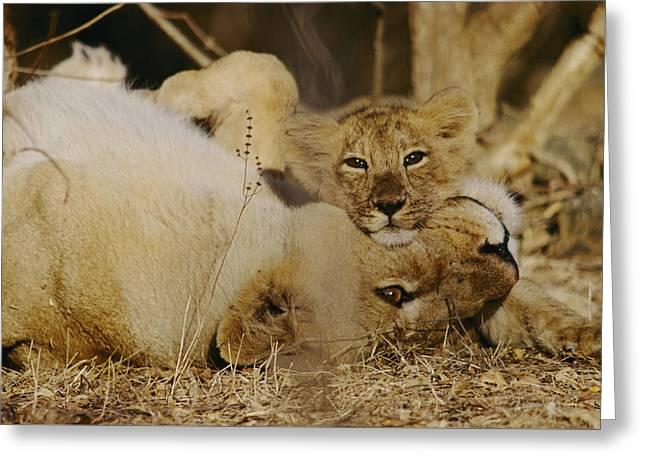 Asian Lions, Panthera Leo Persica Greeting Card by Mattias Klum
