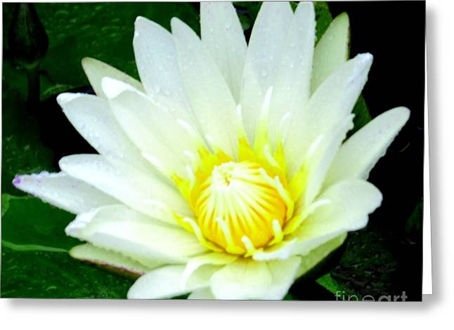 Asian Water Lilly Greeting Card by Randall Weidner