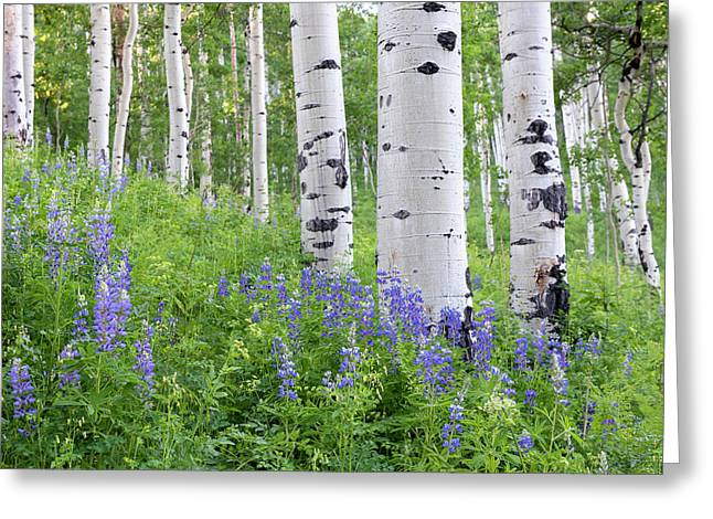 Aspen And Lupine Greeting Card