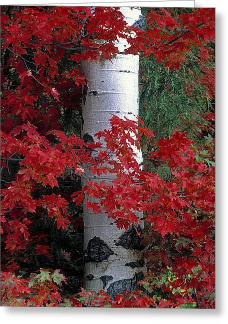 Aspen And Mountain Maple Greeting Card by Leland D Howard