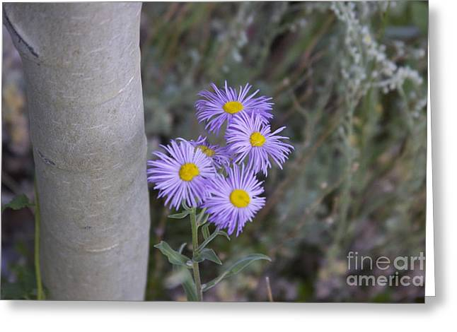 Aspen Asters  Greeting Card by Michael Shaft