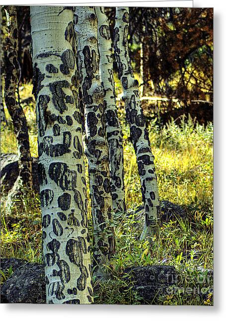 Aspen Bark Greeting Card