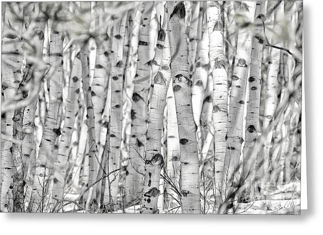 Greeting Card featuring the photograph Aspen Forest Iv by Brad Allen Fine Art