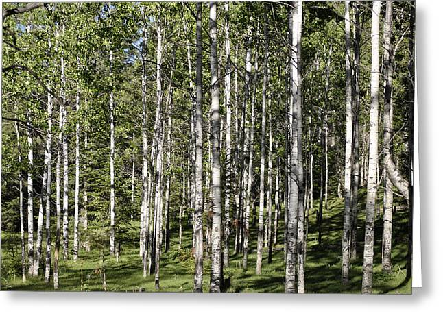 Aspen Forest Greeting Card by Jon Rossiter