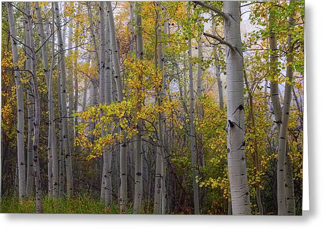 Aspen Forest Light Greeting Card