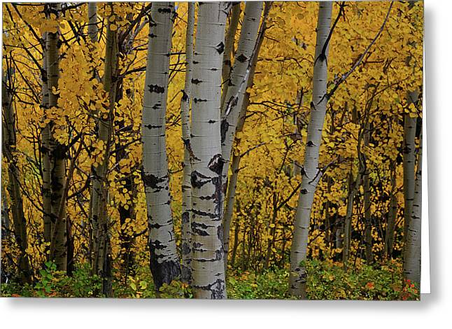Aspen Golden Greeting Card