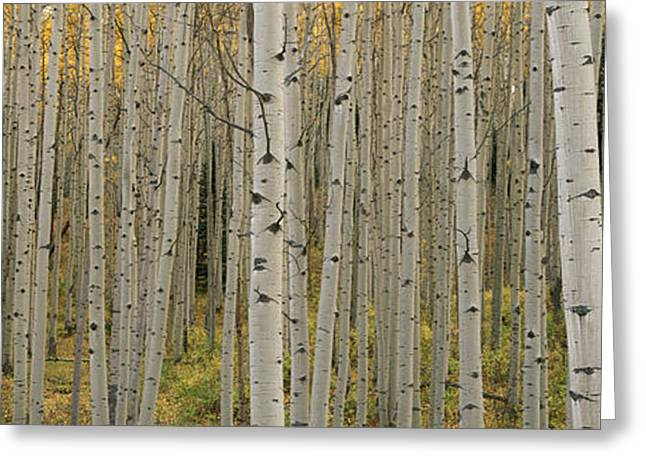 Aspen Grove Greeting Cards - Aspen Grove In Fall, Kebler Pass Greeting Card by Ron Watts