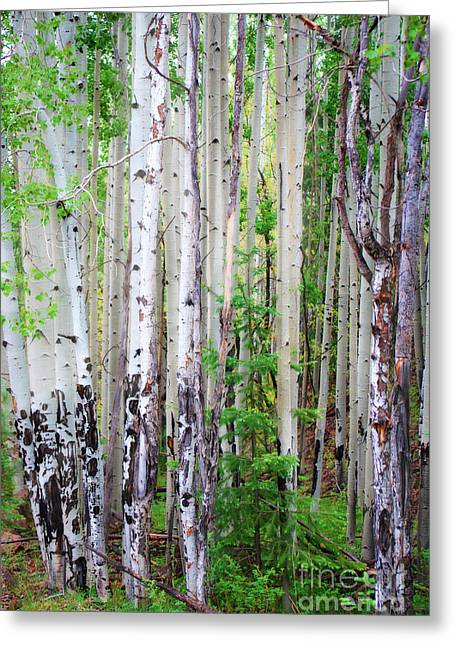 Aspen Grove In The White Mountains Greeting Card