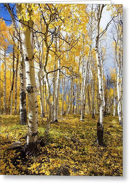 Aspen Grove Greeting Card by Tyler Grundvig
