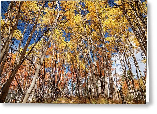 Aspen Grove With Peak Autumn Color Greeting Card