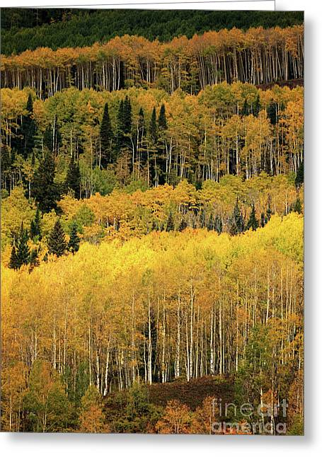 Aspen Groves Greeting Card