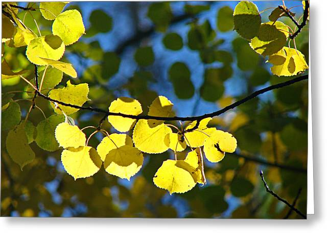 Aspen Leaves 1 Greeting Card