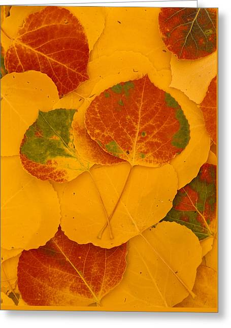 Aspen Leaves, Fall Color, Kachina Peaks Greeting Card