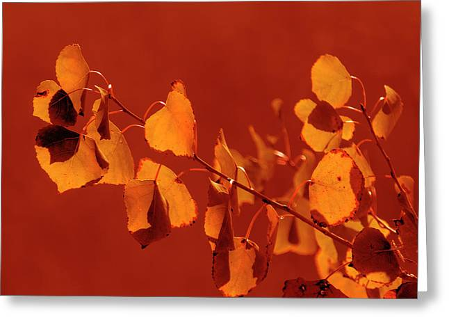 Aspen Leaves In Autumn Greeting Card by Frank Wilson