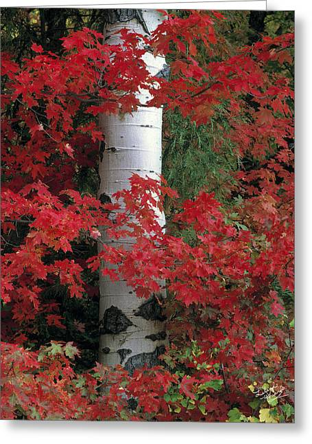 Aspen Maples Greeting Card by Leland D Howard