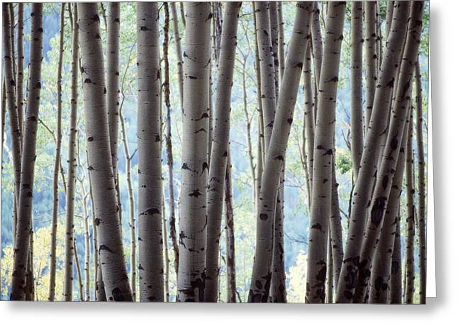 Aspen On The Edge Of Bear Creek Greeting Card by John Brink