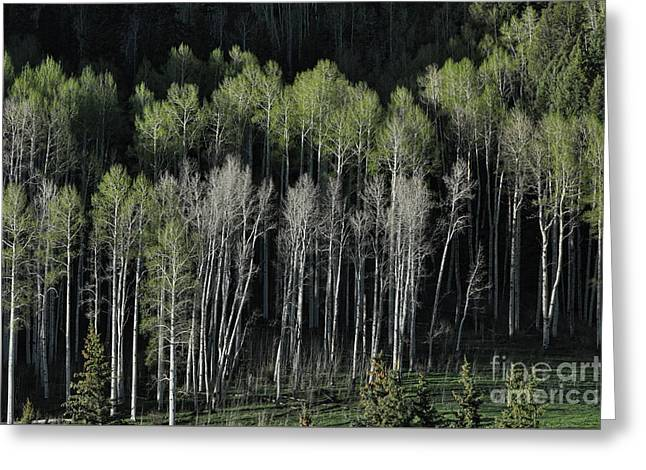 Aspen Spring Greeting Card